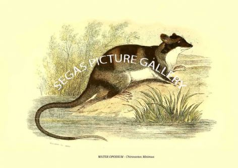 Fine art print of the WATER OPOSSUM - Chironectes Minimus by Richard Lydekker 1896